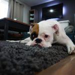 ラグの上で不満気な犬